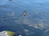 ברווז במים